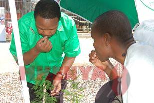 simon kirui, Ken Osinde tasting the artemnisia plant