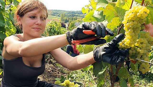winzer vintner